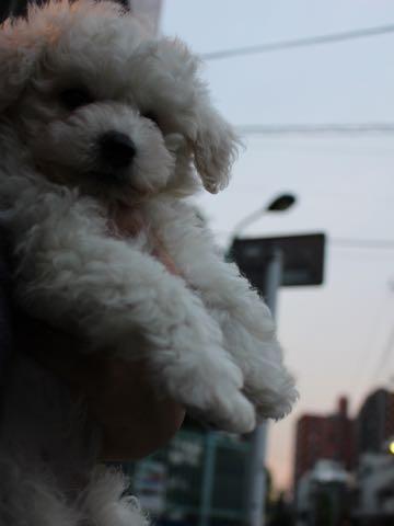 ビションフリーゼフントヒュッテこいぬ画像ビションフリーゼ子犬社会化性格血統チャンピオン犬東京ビションメス関東かわいいビションおとこのこ文京区出産情報ビション募集_104.jpg
