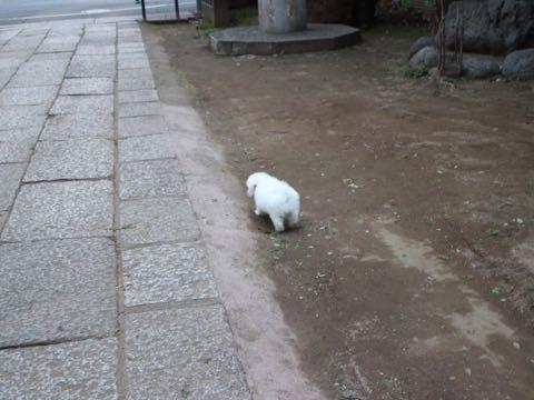 ビションフリーゼフントヒュッテこいぬ画像ビションフリーゼ子犬社会化性格血統チャンピオン犬東京ビションメス関東かわいいビションおとこのこ文京区出産情報ビション募集_108.jpg