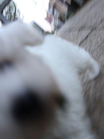 ビションフリーゼフントヒュッテこいぬ画像ビションフリーゼ子犬社会化性格血統チャンピオン犬東京ビションメス関東かわいいビションおとこのこ文京区出産情報ビション募集_116.jpg