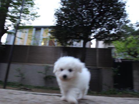 ビションフリーゼフントヒュッテこいぬ画像ビションフリーゼ子犬社会化性格血統チャンピオン犬東京ビションメス関東かわいいビションおとこのこ文京区出産情報ビション募集_120.jpg