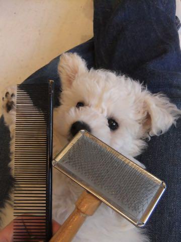 ビションフリーゼフントヒュッテこいぬ画像ビションフリーゼ子犬社会化性格血統チャンピオン犬東京ビションメス関東かわいいビションおとこのこ文京区出産情報ビション募集_149.jpg