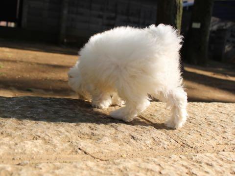 ビションフリーゼフントヒュッテこいぬ画像ビションフリーゼ子犬社会化性格血統チャンピオン犬東京ビションメス関東かわいいビションおとこのこ文京区出産情報ビション募集_179.jpg