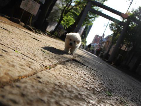 ビションフリーゼフントヒュッテこいぬ画像ビションフリーゼ子犬社会化性格血統チャンピオン犬東京ビションメス関東かわいいビションおとこのこ文京区出産情報ビション募集_183.jpg