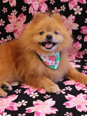 ミックス犬トリミング東京ポメラニアンとチワワのミックス犬画像ミックス犬トリミング料金文京区フントヒュッテ駒込サマーカットポメチワミックス犬_19.jpg