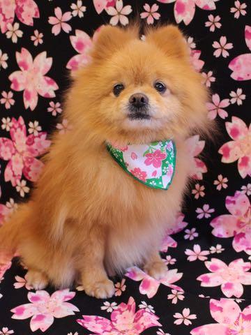 ミックス犬トリミング東京ポメラニアンとチワワのミックス犬画像ミックス犬トリミング料金文京区フントヒュッテ駒込サマーカットポメチワミックス犬_20.jpg