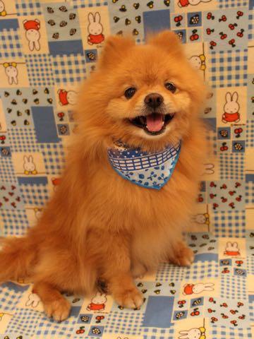 ミックス犬トリミング東京ポメラニアンとチワワのミックス犬画像ミックス犬トリミング料金文京区フントヒュッテ駒込サマーカットポメチワミックス犬_21.jpg