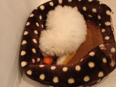 ビションフリーゼフントヒュッテこいぬ画像ビションフリーゼ子犬社会化性格血統チャンピオン犬東京ビションメス関東かわいいビションおとこのこ文京区出産情報ビション募集_187.jpg