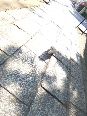 ビションフリーゼフントヒュッテこいぬ画像ビションフリーゼ子犬社会化性格血統チャンピオン犬東京ビションメス関東かわいいビションおとこのこ文京区出産情報ビション募集_273.jpg