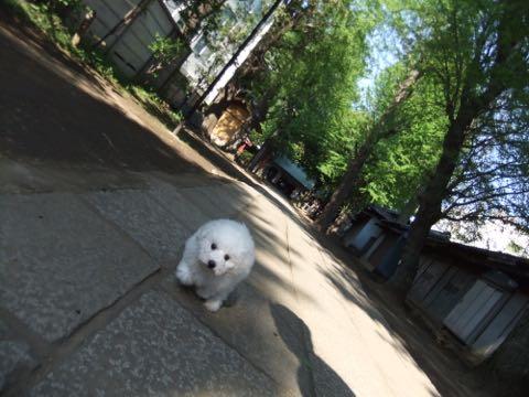 ビションフリーゼフントヒュッテこいぬ画像ビションフリーゼ子犬社会化性格血統チャンピオン犬東京ビションメス関東かわいいビションおとこのこ文京区出産情報ビション募集_276.jpg