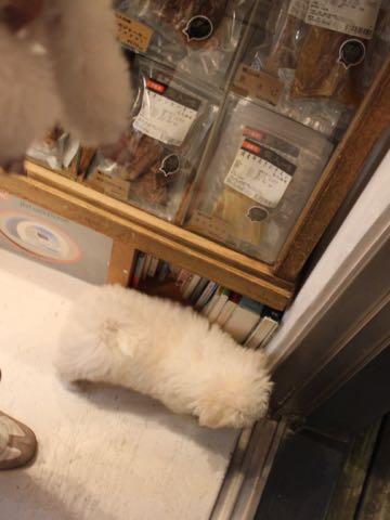 ビションフリーゼフントヒュッテこいぬ画像ビションフリーゼ子犬社会化性格血統チャンピオン犬東京ビションメス関東かわいいビションおとこのこ文京区出産情報ビション募集_288.jpg