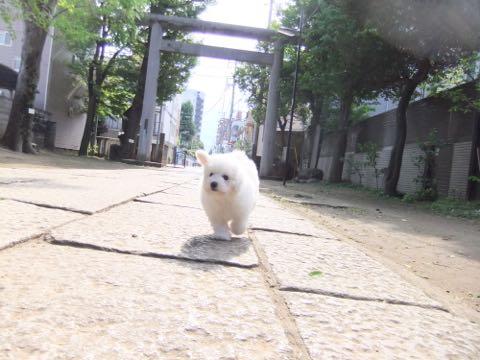 ビションフリーゼフントヒュッテこいぬ画像ビションフリーゼ子犬社会化性格血統チャンピオン犬東京ビションメス関東かわいいビションおとこのこ文京区出産情報ビション募集_300.jpg