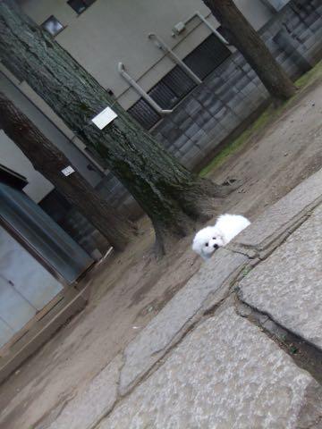 ビションフリーゼフントヒュッテこいぬ画像ビションフリーゼ子犬社会化性格血統チャンピオン犬東京ビションメス関東かわいいビションおとこのこ文京区出産情報ビション募集_302.jpg