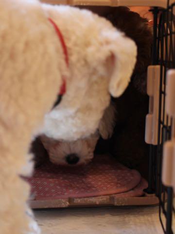 ビションフリーゼフントヒュッテこいぬ画像ビションフリーゼ子犬社会化性格血統チャンピオン犬東京ビションメス関東かわいいビションおとこのこ文京区出産情報ビション募集_303.jpg
