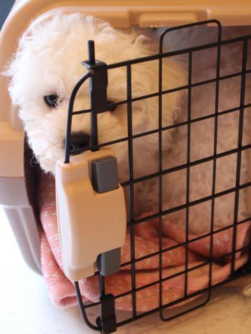 ビションフリーゼフントヒュッテこいぬ画像ビションフリーゼ子犬社会化性格血統チャンピオン犬東京ビションメス関東かわいいビションおとこのこ文京区出産情報ビション募集_307.jpg