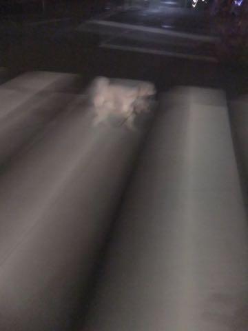 トイ・プードル極小サイズティーカッププードル東京トイプードルトリミング画像フントヒュッテ駒込ビションフリーゼトリミング文京区ペットホテル都内_211.jpg