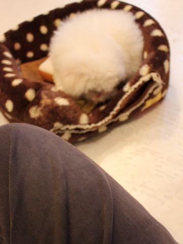 ビションフリーゼフントヒュッテこいぬ画像ビションフリーゼ子犬社会化性格血統チャンピオン犬東京ビションメス関東かわいいビションおとこのこ文京区出産情報ビション募集_348.jpg