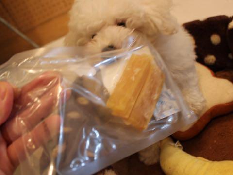 ビションフリーゼフントヒュッテこいぬ画像ビションフリーゼ子犬社会化性格血統チャンピオン犬東京ビションメス関東かわいいビションおとこのこ文京区出産情報ビション募集_350.jpg