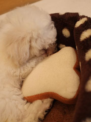 ビションフリーゼフントヒュッテこいぬ画像ビションフリーゼ子犬社会化性格血統チャンピオン犬東京ビションメス関東かわいいビションおとこのこ文京区出産情報ビション募集_359.jpg