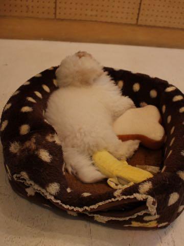 ビションフリーゼフントヒュッテこいぬ画像ビションフリーゼ子犬社会化性格血統チャンピオン犬東京ビションメス関東かわいいビションおとこのこ文京区出産情報ビション募集_360.jpg