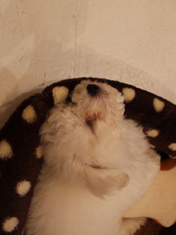 ビションフリーゼフントヒュッテこいぬ画像ビションフリーゼ子犬社会化性格血統チャンピオン犬東京ビションメス関東かわいいビションおとこのこ文京区出産情報ビション募集_363.jpg