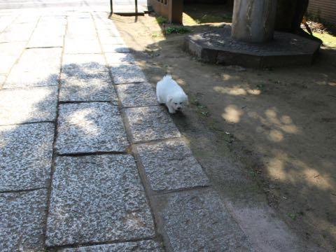 ビションフリーゼフントヒュッテこいぬ画像ビションフリーゼ子犬社会化性格血統チャンピオン犬東京ビションメス関東かわいいビションおとこのこ文京区出産情報ビション募集_374.jpg