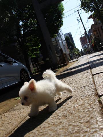 ビションフリーゼフントヒュッテこいぬ画像ビションフリーゼ子犬社会化性格血統チャンピオン犬東京ビションメス関東かわいいビションおとこのこ文京区出産情報ビション募集_375.jpg