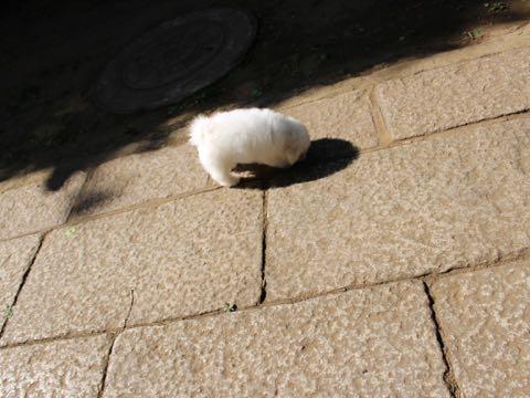 ビションフリーゼフントヒュッテこいぬ画像ビションフリーゼ子犬社会化性格血統チャンピオン犬東京ビションメス関東かわいいビションおとこのこ文京区出産情報ビション募集_377.jpg