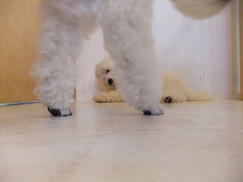 ビションフリーゼフントヒュッテこいぬ画像ビションフリーゼ子犬社会化性格血統チャンピオン犬東京ビションメス関東かわいいビションおとこのこ文京区出産情報ビション募集_399.jpg