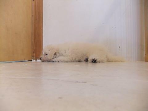 ビションフリーゼフントヒュッテこいぬ画像ビションフリーゼ子犬社会化性格血統チャンピオン犬東京ビションメス関東かわいいビションおとこのこ文京区出産情報ビション募集_402.jpg