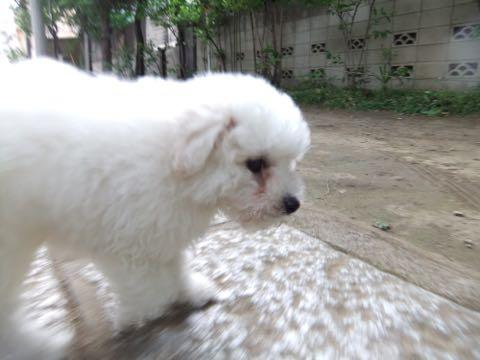 ビションフリーゼフントヒュッテこいぬ画像ビションフリーゼ子犬社会化性格血統チャンピオン犬東京ビションメス関東かわいいビションおとこのこ文京区出産情報ビション募集_417.jpg