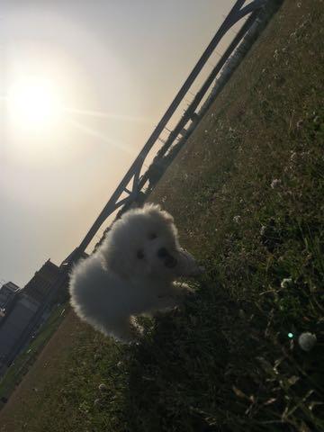 ビションフリーゼフントヒュッテこいぬ画像ビションフリーゼ子犬社会化性格血統チャンピオン犬東京ビションメス関東かわいいビションおとこのこ文京区出産情報ビション募集_433.jpg