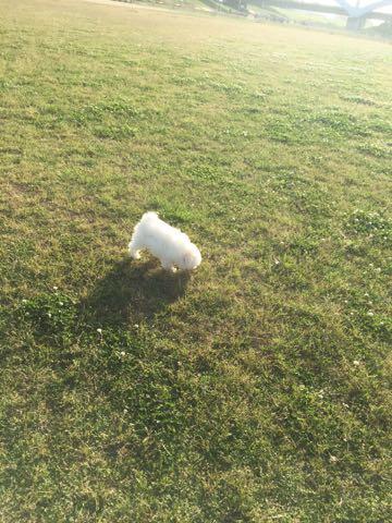 ビションフリーゼフントヒュッテこいぬ画像ビションフリーゼ子犬社会化性格血統チャンピオン犬東京ビションメス関東かわいいビションおとこのこ文京区出産情報ビション募集_435.jpg