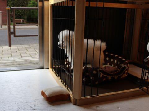 ビションフリーゼフントヒュッテこいぬ画像ビションフリーゼ子犬社会化性格血統チャンピオン犬東京ビションメス関東かわいいビションおとこのこ文京区出産情報ビション募集_485.jpg