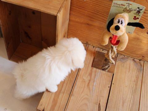 ビションフリーゼフントヒュッテこいぬ画像ビションフリーゼ子犬社会化性格血統チャンピオン犬東京ビションメス関東かわいいビションおとこのこ文京区出産情報ビション募集_486.jpg