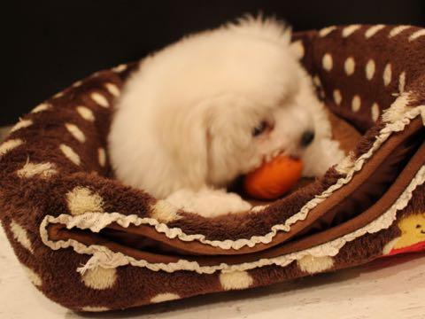 ビションフリーゼフントヒュッテこいぬ画像ビションフリーゼ子犬社会化性格血統チャンピオン犬東京ビションメス関東かわいいビションおとこのこ文京区出産情報ビション募集_499.jpg