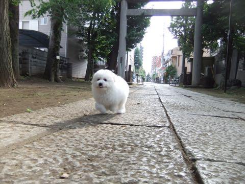 ビションフリーゼフントヒュッテこいぬ画像ビションフリーゼ子犬社会化性格血統チャンピオン犬東京ビションメス関東かわいいビションおとこのこ文京区出産情報ビション募集_509.jpg