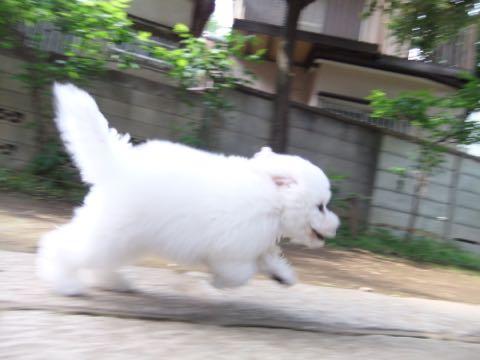 ビションフリーゼフントヒュッテこいぬ画像ビションフリーゼ子犬社会化性格血統チャンピオン犬東京ビションメス関東かわいいビションおとこのこ文京区出産情報ビション募集_510.jpg
