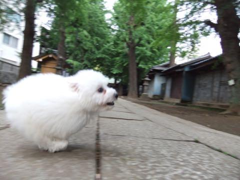 ビションフリーゼフントヒュッテこいぬ画像ビションフリーゼ子犬社会化性格血統チャンピオン犬東京ビションメス関東かわいいビションおとこのこ文京区出産情報ビション募集_520.jpg