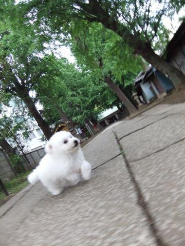 ビションフリーゼフントヒュッテこいぬ画像ビションフリーゼ子犬社会化性格血統チャンピオン犬東京ビションメス関東かわいいビションおとこのこ文京区出産情報ビション募集_524.jpg