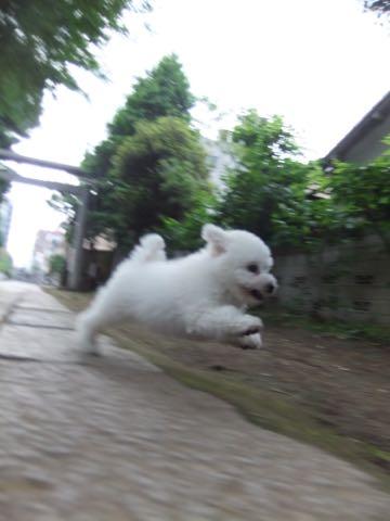 ビションフリーゼフントヒュッテこいぬ画像ビションフリーゼ子犬社会化性格血統チャンピオン犬東京ビションメス関東かわいいビションおとこのこ文京区出産情報ビション募集_525.jpg
