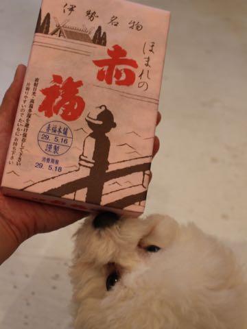 ビションフリーゼフントヒュッテこいぬ画像ビションフリーゼ子犬社会化性格血統チャンピオン犬東京ビションメス関東かわいいビションおとこのこ文京区出産情報ビション募集_553.jpg
