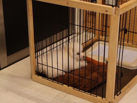ビションフリーゼフントヒュッテこいぬ画像ビションフリーゼ子犬社会化性格血統チャンピオン犬東京ビションメス関東かわいいビションおとこのこ文京区出産情報ビション募集_556.jpg