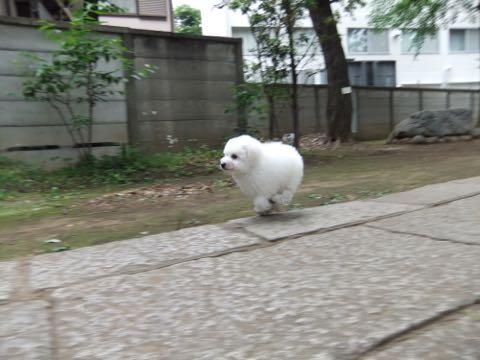 ビションフリーゼフントヒュッテこいぬ画像ビションフリーゼ子犬社会化性格血統チャンピオン犬東京ビションメス関東かわいいビションおとこのこ文京区出産情報ビション募集_560.jpg