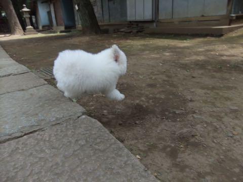 ビションフリーゼフントヒュッテこいぬ画像ビションフリーゼ子犬社会化性格血統チャンピオン犬東京ビションメス関東かわいいビションおとこのこ文京区出産情報ビション募集_571.jpg