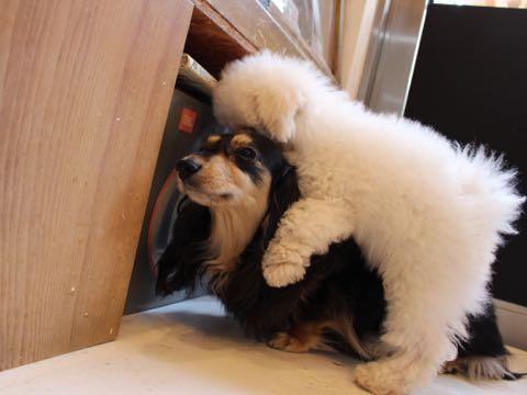ビションフリーゼフントヒュッテこいぬ画像ビションフリーゼ子犬社会化性格血統チャンピオン犬東京ビションメス関東かわいいビションおとこのこ文京区出産情報ビション募集_581.jpg
