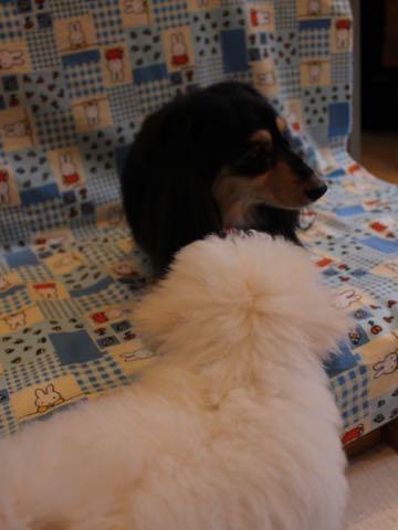 ビションフリーゼフントヒュッテこいぬ画像ビションフリーゼ子犬社会化性格血統チャンピオン犬東京ビションメス関東かわいいビションおとこのこ文京区出産情報ビション募集_582.jpg