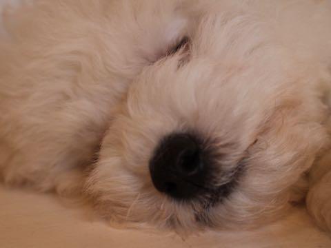 ビションフリーゼフントヒュッテこいぬ画像ビションフリーゼ子犬社会化性格血統チャンピオン犬東京ビションメス関東かわいいビションおとこのこ文京区出産情報ビション募集_598.jpg