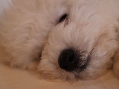 ビションフリーゼフントヒュッテこいぬ画像ビションフリーゼ子犬社会化性格血統チャンピオン犬東京ビションメス関東かわいいビションおとこのこ文京区出産情報ビション募集_599.jpg