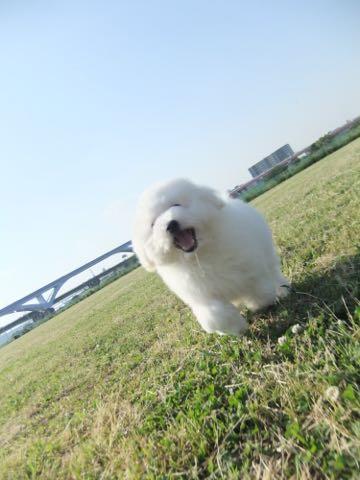 ビションフリーゼフントヒュッテこいぬ画像ビションフリーゼ子犬社会化性格血統チャンピオン犬東京ビションメス関東かわいいビションおとこのこ文京区出産情報ビション募集_622.jpg