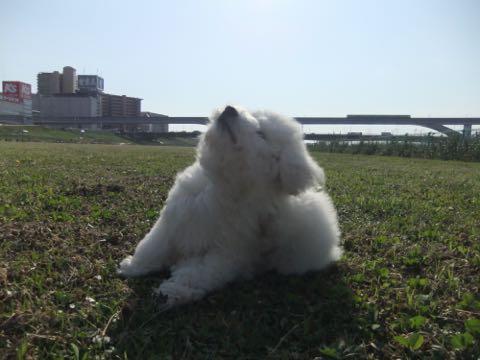 ビションフリーゼフントヒュッテこいぬ画像ビションフリーゼ子犬社会化性格血統チャンピオン犬東京ビションメス関東かわいいビションおとこのこ文京区出産情報ビション募集_628.jpg